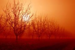 Nascer do sol atrás das árvores de noz Fotografia de Stock Royalty Free