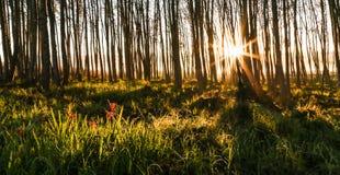 Nascer do sol através das árvores Imagens de Stock Royalty Free