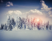 Nascer do sol bonito do inverno na floresta da montanha Fotos de Stock Royalty Free