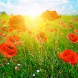 Nascer do sol brilhante no campo da papoila Imagem de Stock