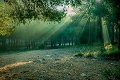 Nascer do sol com os raios de sol que iluminam o assoalho da floresta do pinho foto de stock royalty free
