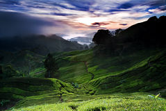 Nascer do sol da exploração agrícola do chá imagem de stock