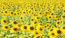 Nascer do sol da flor do girassol na manhã imagens de stock royalty free