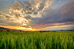 Nascer do sol do campo de trigo Fotos de Stock