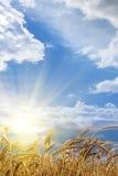 Nascer do sol do campo de trigo das orelhas Fotos de Stock Royalty Free