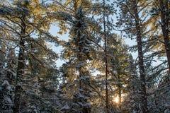 Nascer do sol do inverno através dos pinhos Fotos de Stock Royalty Free