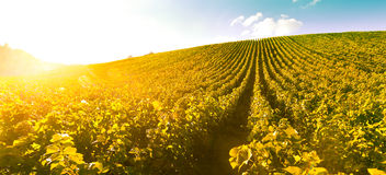 Nascer do sol do vinhedo - Champagne Vineyard Imagem de Stock Royalty Free