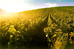 Nascer do sol do vinhedo - Champagne Vineyard Fotos de Stock Royalty Free