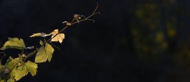 Nascer do sol do vinhedo - vinhedo do Bordéus Imagem de Stock