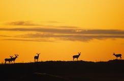Nascer do sol dramático com cervos de mula Imagem de Stock Royalty Free