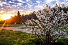Nascer do sol e cereja de florescência Imagem de Stock