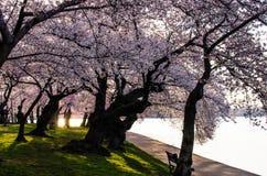 Nascer do sol e flores de cerejeira da C.C. imagem de stock