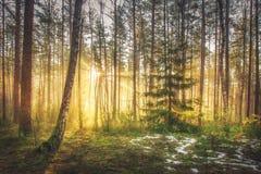 Nascer do sol e luz do sol brilhantes na floresta pitoresca da mola na manhã Sun irradia através das árvores da paisagem natural  Foto de Stock