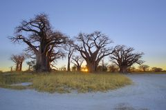 Nascer do sol em Baobabs de Baines Fotos de Stock