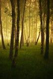 Nascer do sol em um bosque do vidoeiro foto de stock royalty free