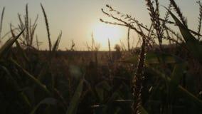 Nascer do sol em um prado bonito da manhã Por do sol bonito sobre o grande campo do milho vídeos de arquivo