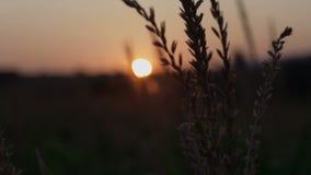 Nascer do sol em um prado bonito da manhã Por do sol bonito sobre o grande campo do milho filme