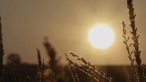 Nascer do sol em um prado bonito da manhã Por do sol bonito sobre o grande campo do milho video estoque