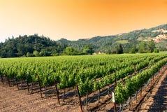 Nascer do sol em um vinhedo em Napa, Califórnia Fotografia de Stock Royalty Free