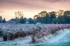 Nascer do sol gelado em um campo do mirtilo de Michigan imagem de stock