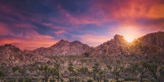 Nascer do sol lindo sobre uma floresta e pedregulhos do cacto em Joshua Tree National Park imagem de stock