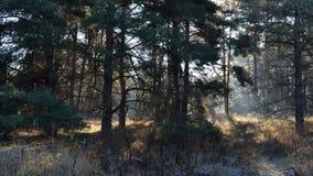 Nascer do sol místico na floresta da manhã, outono tempo-lapso video estoque