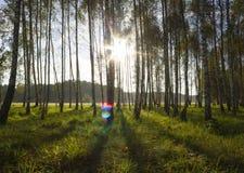 Nascer do sol na floresta do vidoeiro Imagem de Stock