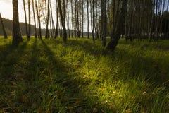 Nascer do sol na floresta do vidoeiro Imagem de Stock Royalty Free