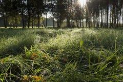 Nascer do sol na floresta do vidoeiro Imagens de Stock