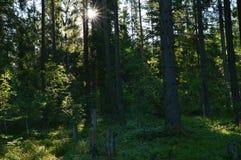 Nascer do sol na floresta spruce em uma manhã do verão Fotografia de Stock Royalty Free