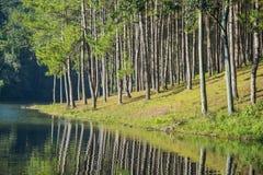 Nascer do sol na pungência-ung, pinho Forest Park em Tailândia norte fotografia de stock royalty free