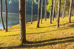 Nascer do sol na pungência-ung, pinho Forest Park em Tailândia norte foto de stock