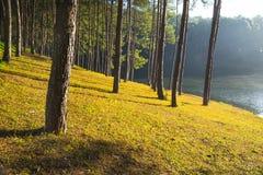 Nascer do sol na pungência-ung, pinho Forest Park em Tailândia norte fotografia de stock