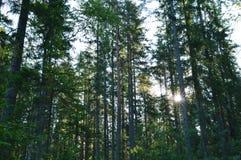 Nascer do sol no verão em uma floresta do pinho no amanhecer Imagens de Stock