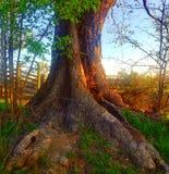 Nascer do sol para esta raiz velha foto de stock royalty free
