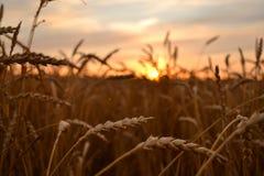 Nascer do sol sobre o campo de trigo Fotografia de Stock