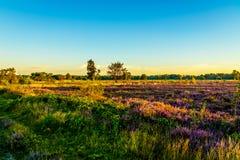 Nascer do sol sobre o Ermelose Heide com as urzes do Calluna na flor completa fotografia de stock royalty free