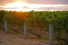 Nascer do sol sobre o vinhedo fotografia de stock royalty free