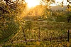 Nascer do sol sobre o vinhedo de Califórnia Fotos de Stock