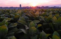 Nascer do sol sobre um campo de cigarro fotografia de stock