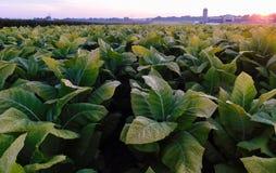 Nascer do sol sobre um campo de cigarro no Condado de Lancaster, Pensilvânia fotos de stock