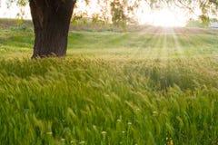 Nascer do sol sobre um campo de trigo Foto de Stock Royalty Free
