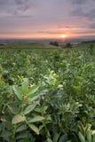Nascer do sol sobre uma plantação do feijão largo Fotos de Stock Royalty Free