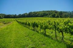 Nascer do sol sobre wineyards da uva na área do Bordéus foto de stock royalty free