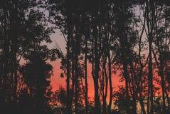 Nascer do sol vermelho maravilhoso entre o silouet das árvores fotos de stock