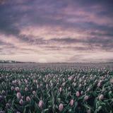 Nascer do sol do vintage sobre o campo das tulipas Fotos de Stock