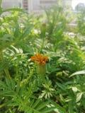 Nascimento de uma flor imagem de stock