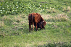 Nascita del bestiame dei diavoli nel prato fotografia stock libera da diritti