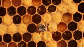 Nascita dell'ape video d archivio