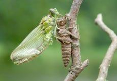 Nascita di una libellula (serie 5 foto) Fotografie Stock Libere da Diritti